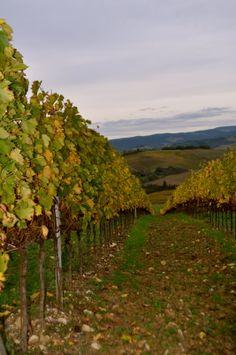 Cecchi's vineyard in autumn colors