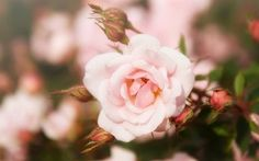 壁紙をダウンロードする 春, rosebud, バラ, ピンク色のバラ, rose bud