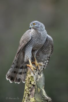 Birds ©: Northern Goshawk (Accipiter gentilis) on a post. A widespread species, it inhabits many of the temperate regions of the Northern Hemisphere. Colour varies by location. (Arno van Zon on Love Birds, Beautiful Birds, Animals Beautiful, Nature Animals, Animals And Pets, Northern Goshawk, Tier Fotos, Bird Drawings, Big Bird