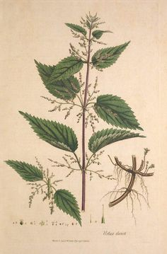 Nettle Leaf and Nettle Leaf as a Diuretic