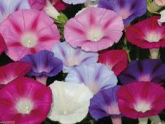 100 MORNING GLORY FLOWER SEEDS ,MIXED COLOR- Easy to Grow Vine ! Morning Glory Tattoo, Morning Glory Vine, Morning Glory Flowers, Morning Glories, Exotic Flowers, Colorful Flowers, Beautiful Flowers, Flowers Nature, Gardens