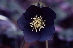 Black Hellebore   black hellebore - group picture, image by tag - keywordpictures.com