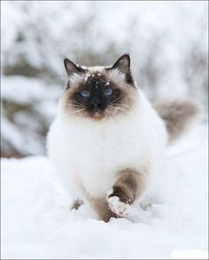 Cats in the snow... precious (more with link) #ragdollcatbig