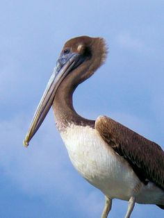 Pelican Die-Off in St. Petersburg, Florida Leaving Many Baffled