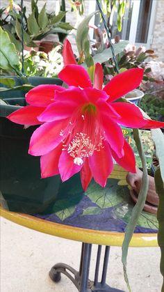 My  Epiphyllum
