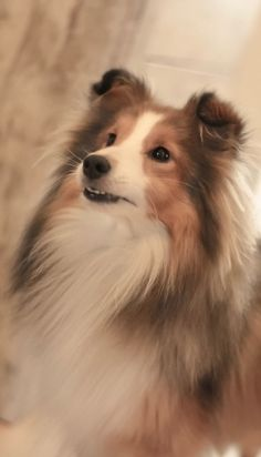 All About Energetic Shetland Sheepdog Puppy Grooming Mini Collie, Collie Dog, Aussie Puppies, Dogs And Puppies, Sheepdog Tattoo, Dog Dna Test, Shetland Sheepdog Puppies, Aussie Shepherd, Puppy Grooming