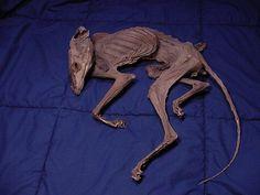 Real Authentic Mummified Dried Fox Animal Rare by crankmaggot, $250.00