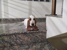 Familia Basset Hound: O que fazer fazer quando um cão é atropelado? legi...