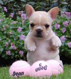 Source: batpigandme.tumblr.com  Minnow, French Bulldog Puppy http://ift.tt/1VJM4bo on Frenchie Friends Being Fuzzy via