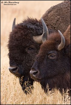 Photograph Together by John Blumenkamp on by Hercio Dias Farm Animals, Animals And Pets, Cute Animals, Wild Animals, Buffalo Pictures, Buffalo Animal, Moose Deer, American Bison, Power Animal