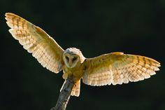Zuzanka - sova pálená (Tyto alba)   Flickr - Photo Sharing!