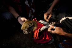 The Masked Monkeys of Indonesia | I could not make myself finish this video:(  Please SIGN and share petition. Thanks.