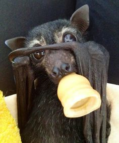 Flying Fox Bat: And Turn Me Right-Side Down!<<< it looks so much like Trico! Funny Animal Memes, Funny Animals, Cute Animals, Animals And Pets, Baby Animals, Bat Flying, Baby Bats, Fruit Bat, Cute Bat