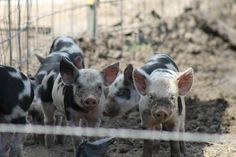12 Tips on How to Raise Pigs for Meat
