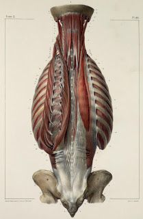 anatomy: deep muscle - back 1 Muscle Anatomy, Body Anatomy, Human Anatomy, Human Reference, Anatomy Reference, Inspirational Artwork, Human Muscular System, Anatomy Images, Anatomy Study