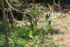 Heirloom coffee trees in Ethiopia