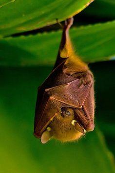 Fruit bat. Peek a boo. I see you. Hangin in there. Brown bat.