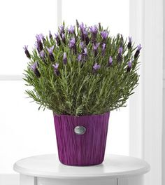 Plants - Soothing Lavender Plant - FedEx - The Soothing Lavender Plant will renew their senses with its lush beauty and infamous scent. Flaunting its purple blooms amongst bright green foliage, this elegant lavender plant arrives seated in a lavender decorative wrap to create a gift that will bring its natural calming effects to your special recipient with its amazing fragrance and dazzling colors.