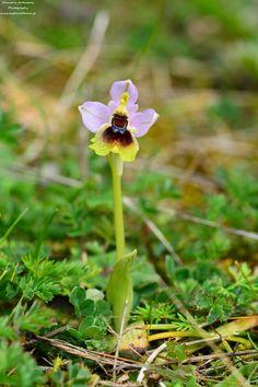 Ορχιδέα Ophrys tenthredinifera. Καλό μήνα Μάρτιο!  Ophrys tenthredinifera, an Ithacan wild orchird greets March 2018. The biodiversitity of this magnificent environment is studied and recorded.