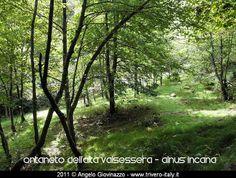 elm woods