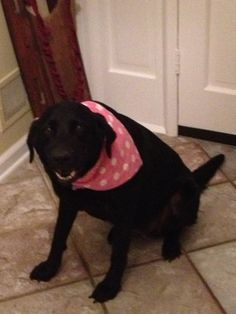 Abby...is a gorgeous black lab who wants nothing more than to be with her people all the time and snuggle with them! She is pretty chill for a lab and she will be a wonderful addition to her family!  ADOPTED!!!! Congrats Abby, I know you will love your new family!