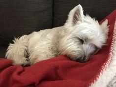 Sleepy Westie