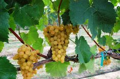 Traminette grapes!  Virginia wine