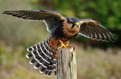 Peregrine 3 (Burian) by Peter K Burian on 500px