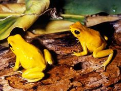 Poison Arrow Frog , 5 Poison Dart Frog Facts In Amphibia Category Top 10 Cutest Animals, Cute Animals, Most Poisonous Frog, Golden Frog, Frog Facts, Frog Wallpaper, Frog Pictures, Poison Dart Frogs, Frog And Toad