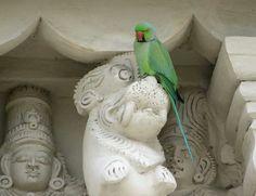 Alexandria parakeet