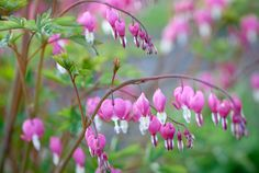 Dicentra spectabilis (Bleeding Heart) - added to my front garden bed yesterday, in the [slowly] ongoing effort to migrate the bed in a more Medieval direction. :)