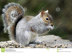 An Adult Grey Squirrel (Sciurus Carolinensis) Feeding. Stock Image - Image of furry, grey: 36432541