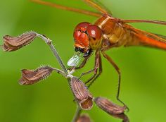 Red Dragonfly eating insect