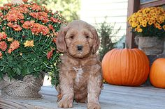Spring Creek Labradoodles: Labradoodle Puppies Available, Goldendoodles Oregon