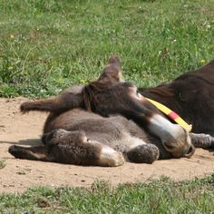 Mamma e puledrina durante il riposo pomeridiano - Mother and foal's afternoon siesta!     Per gentile concessione di Il Rifugio degli Asinelli, Sala Biellese (BI) Italy.