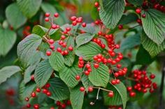 Red, ripe; Polly Hill Arboretum; West Tisbury, Martha's Vineyard, Massachusetts, USA.  August 2008.