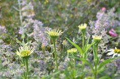 Aufblühende Echinacea Alba, im Hintergrund Nepeta