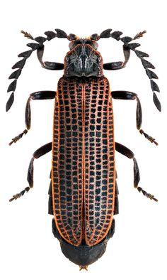 xylobanus japonicus