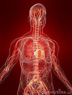 Highlighted vascular system by Sebastian Kaulitzki, via Dreamstime Medical Wallpaper, Brain Art, Traditional Chinese Medicine, Anatomy Art, Med School, Nervous System, Art World, Human Body, Digital Designer