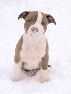 cute little Pitbull.. i don't see an ounce of evil in that face!<3