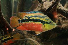 salvini south American cichlid