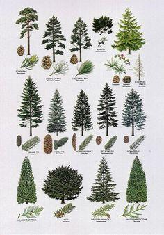 conifer identification - Google Search - Sequin Gardens
