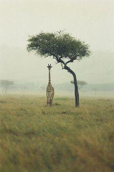 As tall as the giraffe can see.