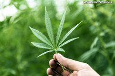 A marihuána megállitja az agresszív rákfajták metasztázisát