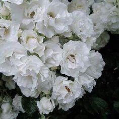 """""""本日の薔薇""""  ^^ つる サマー スノー[ Summer Snow,Climbing]  アメリカ J&P作 1936年  ややフリルっぽいクリアホワイトの可憐な花びら。小中輪の花が房になって咲くつるバラです。最盛期は枝葉が見えなくなるくらい、いっぱいに花が咲き乱れます。トゲの少ない扱いやすい枝で、フェンス、ポール、アーチのほか単に枝垂れさせて懸崖仕立てにするのも効果的です。   花径:5~6cm 樹高:2.0~2.5m 花季:二季咲 その他:微香⇒ほのかに香るバラです   ※京阪園芸ガーデナーズの特選つるバラはこちらから→ http://www.keihan-engei-gardeners.com/fs/keihangn/c/climbing"""