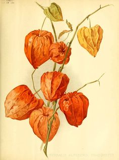 William Robinson — Physalis alkekengi. 1896.