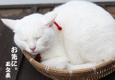 Twitter / nekozamuraiinfo: おやすみなさいませ、玉之丞さま。 #猫侍 #白猫