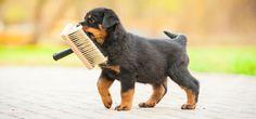 Kleiner Rotti ganz groß - Hunde