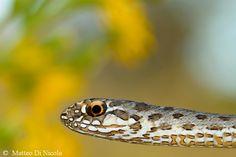 Young female Montpellier snake (Malpolon monspessulanus)  Liguria, september 2013  by Matteo di Nicola www.matteodinicola.com