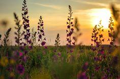 purple by Marius Fechete on Dandelion, Purple, Flowers, Plants, Photography, Photograph, Dandelions, Fotografie, Photoshoot
